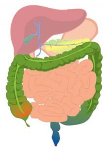 Figure 1 - Large Bowel